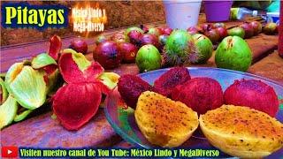 Gambar cover Cortando PITAYAS de temporal 🌵 Rica fruta de la Mixteca ★