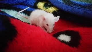 Крыса сплинтер. Крыса Дамбо. Адаптация. Альбинос
