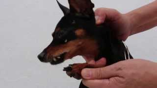 Front paw lameness due to tooth ache pawing - Part 2