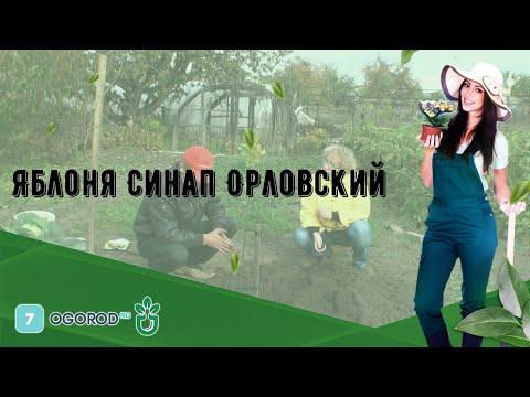 Яблоня Синап Орловский