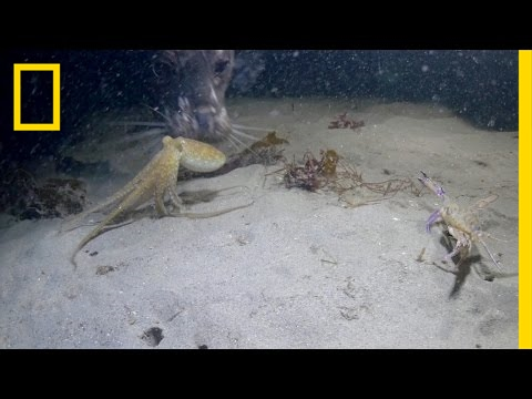 Octopus vs. Crab Battle Takes an Unexpected Turn | National Geographic