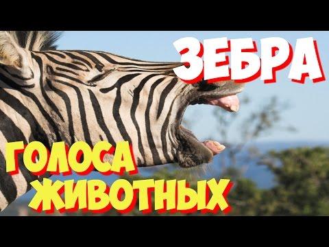 Как говорит зебра слушать