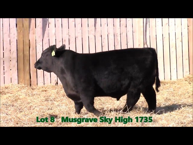 Musgrave Angus Lot 8
