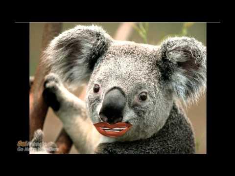 Koala funny talk Part 1