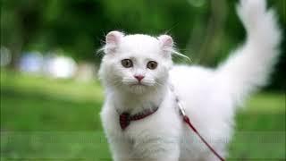 Characteristics Of The American Curl Cat