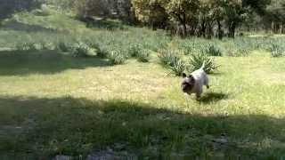 Cairn Terrier Y Jack Russel Terrier Jugando En La Dehesa