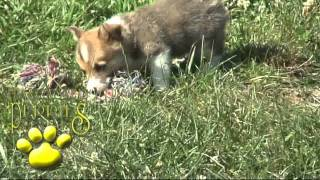 Welsh Corgi Puppies For Sale!