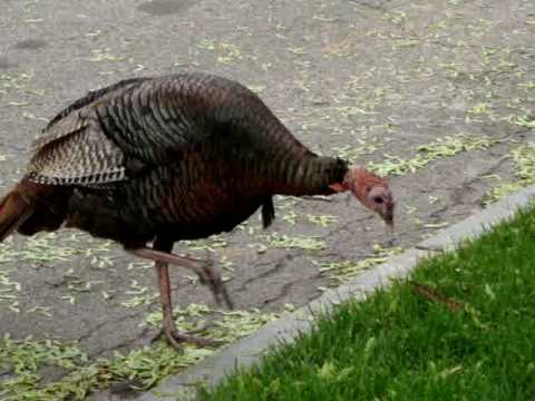 Wild turkeys in Brookline, MA