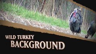 Wild Turkey History in North America