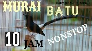 Full 10 Jam Nonstop Kicau Murai Batu Sangat Cocok Buat Pancingan Burung Kesayangan Anda