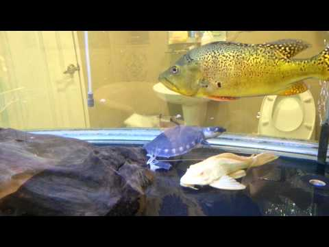 紅龍吃泰國蝦去頭吃法