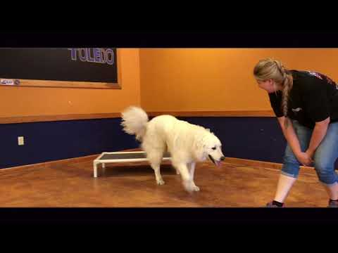 Dog Training: Great Pyrenees, Hank! Before/After Two Week Board and Train!