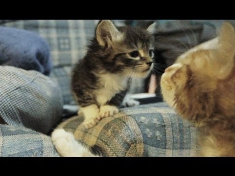 Thumbnail: Older Sibling Cat Meets Younger Baby Kitten for The First Time CORNY MUSIC
