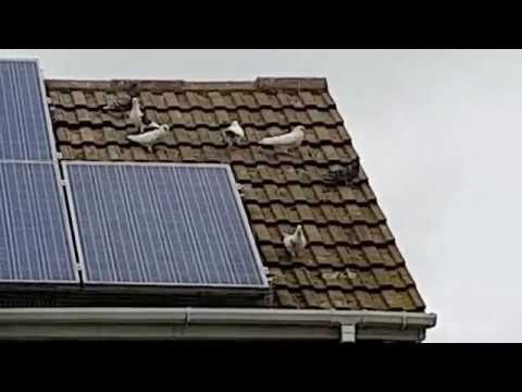 Pest ID - Pigeon Proofing Solar Panels