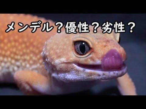【優性遺伝編】レオパで学ぶ爬虫類の遺伝学!
