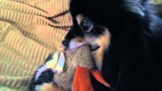 Dogs Play Fight On Bed With Growling Sister - Pug , Min Pin And Pomeranian