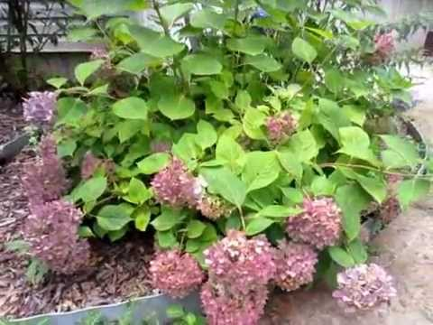 Pruning a Hydrangea (ENDLESS SUMMER) - YouTube