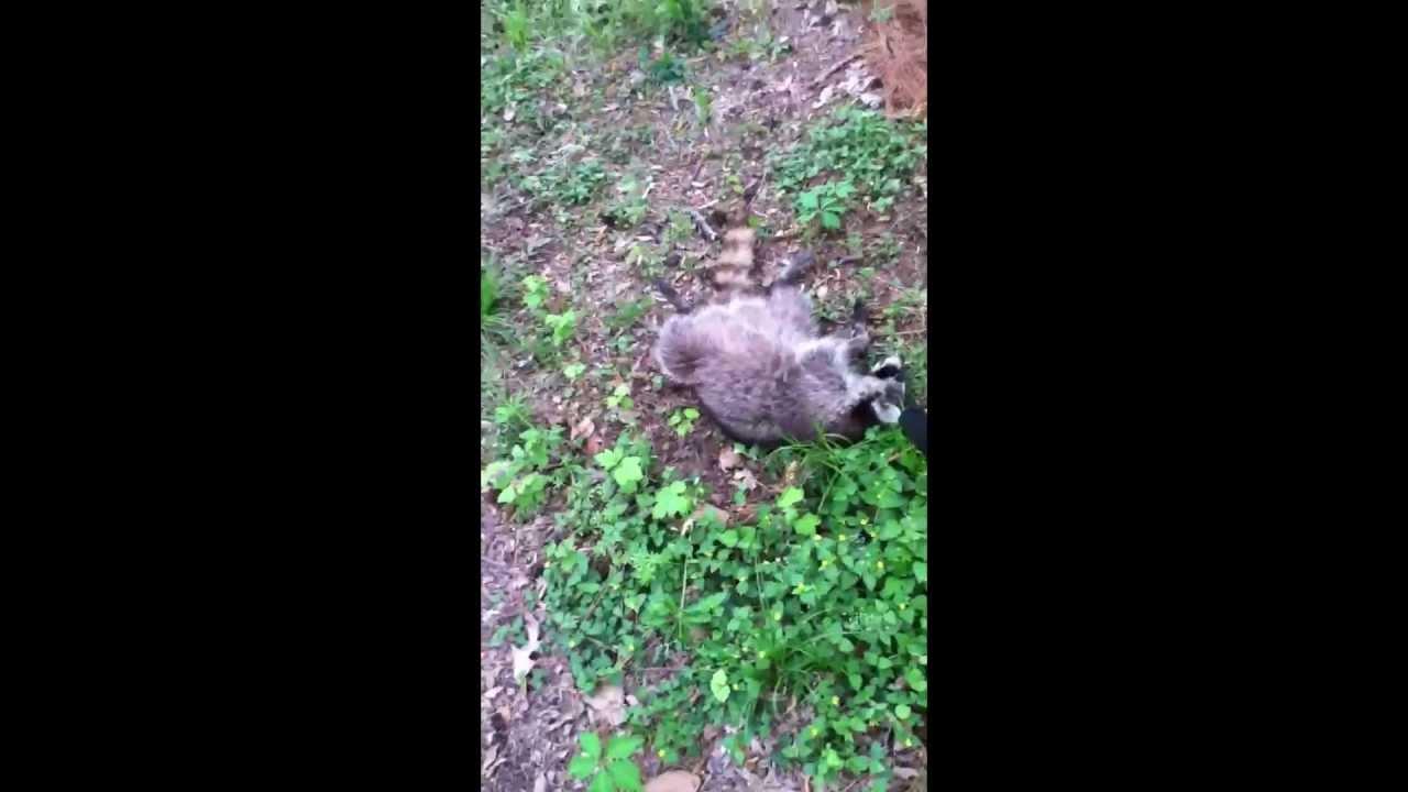 Pellet Gun Raccoon Hunting Youtube