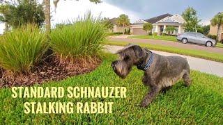 Standard Schnauzer Stalking Rabbit Off Leash
