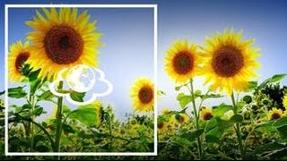 Соняшник.Helianthus. 'Щоденник здоров'я'