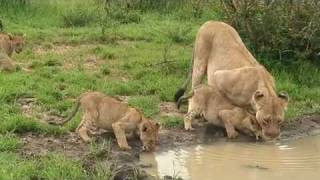 lion family with cute cubs !