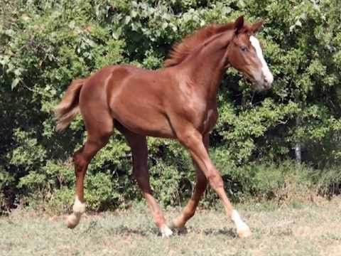 Caprize WH — 2012 Hanoverian Filly by Cabalito FOR SALE