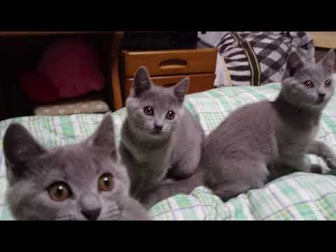 20171206Bluetreasure chartreux Kitten