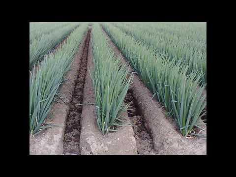 Выращивание лука/ по китайской технологии/  секреты