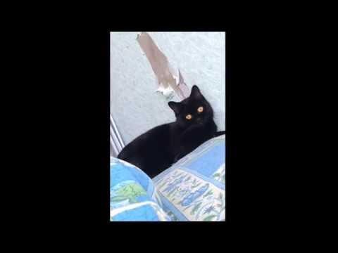 Реакция кошки, когда ее спалили, что она рвет обои
