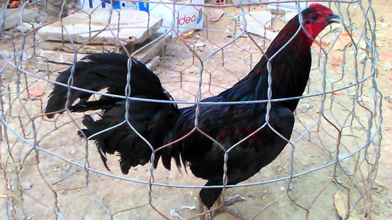 Địa chỉ bán gà mái vảy rồng chất lượng ở Hồ Chí Minh - XEM ...