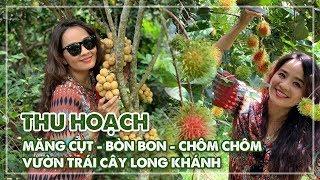 Đi thu hoạch măng cụt - bòn bon - chôm chôm siêu ngon nhất vườn trái cây Long Khánh