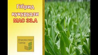 Кукуруза Мас 33 А  🌽 - описание гибрида 🌽, семена в Украине