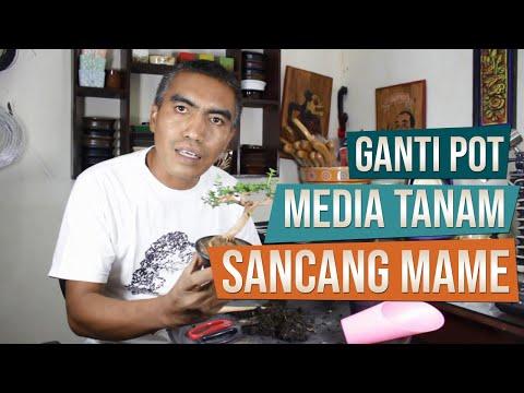 Bonsai Sancang (Premna Microphylla) Mame Ganti Pot Dan Media Tanam