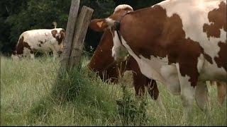 Doubs: les vaches déprimées par la météo