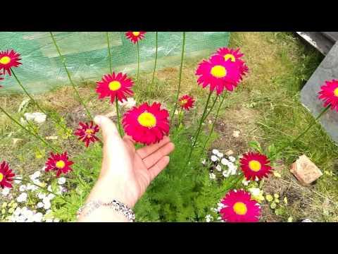 Пиретрум Robinson Giants из семян. Цветение на второй год
