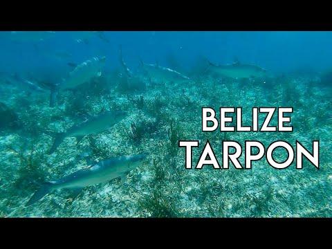 Massive School Of Tarpon | Belize