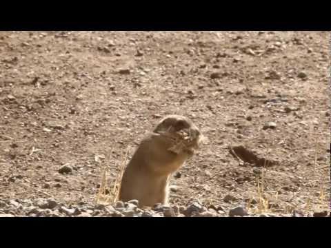 Prairie Dogs: America's Meerkats - Conservation