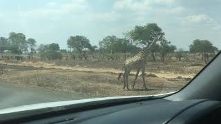Giraffe walking Mikumi National Park Tanzania