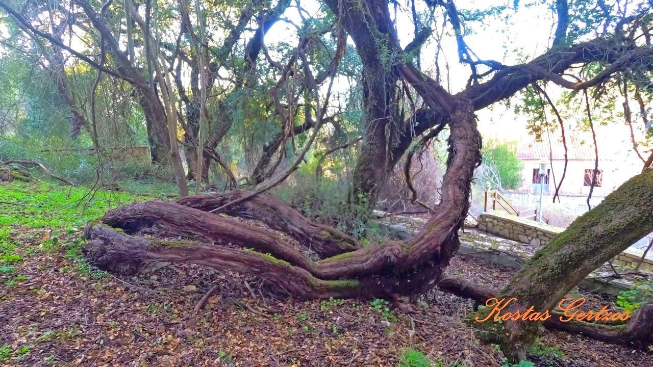 ΙΣΤΟΡΙΚΟ ΚΛΗΜΑ ΠΑΥΣΑΝΙΑ 3000 ΕΤΩΝ, ΑΧΑΪΑ. HISTORICAL VINE TREE OF PAUSANIAS, GREECE - YouTube