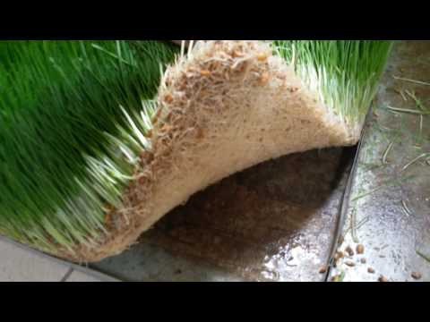видео: Гидропоника как корм животным.