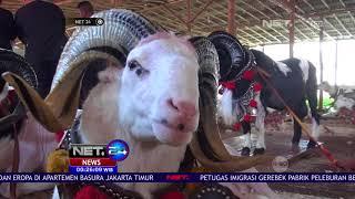Kontes Domba Garut, Ratusan Peternak Antusias Mengikuti Perlombaan -NET24