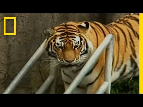 Zoo-Tiger Escape | National Geographic
