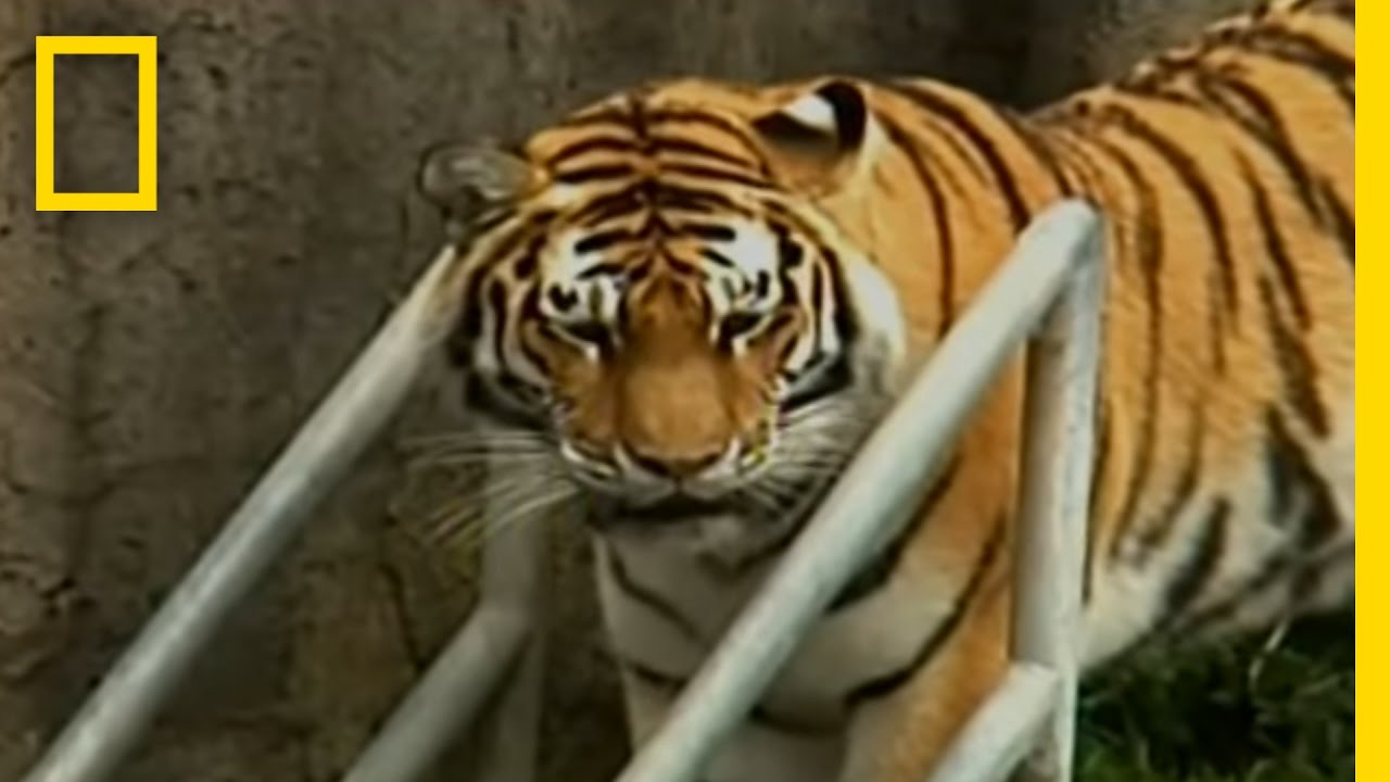 Zoo-Tiger Escape | National Geographic | 2008