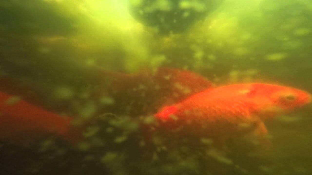 Un tuffo nel laghetto dei pesci rossi youtube for Quali pesci mettere nel laghetto