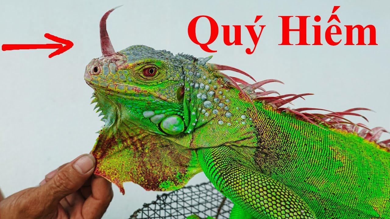 Bắt Được Rồng Có Sừng Cực Hiếm Ở Việt Nam / Khủng Long Khổng Lồ. Amazing Green Godzilla Iguana Horn