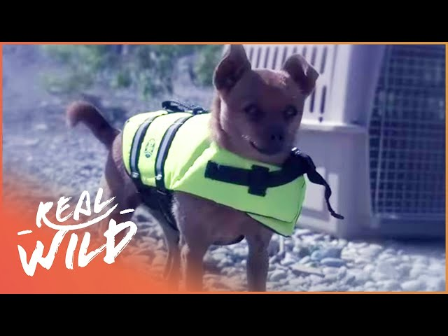 Chihuahua Saves The Life Of At Risk Beaver | Pet Heroes EP15 | Real Wild