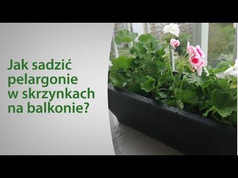 Jak Sadzić Pelargonie W Skrzynkach Na Balkonie