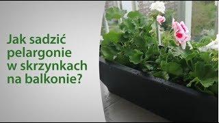 Jak sadzić pelargonie w skrzynkach na balkonie?