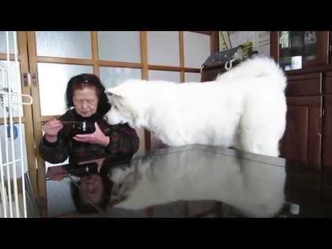 秋田犬無言の圧力でおねだりをする【akita dog】