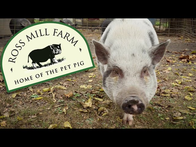 Ross Mill Farm - Home of the Pet Pig (Pig Rescue, Care and Adoption)